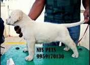 Labrador, german shephard, rottweiler, dobermann, st.bernard : : nfs pets: : 9959170130: :