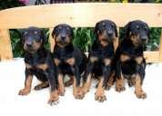 Dachshund puppies sale in testify kennels 9971331250