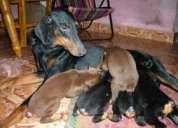 Good quality doberman puppies