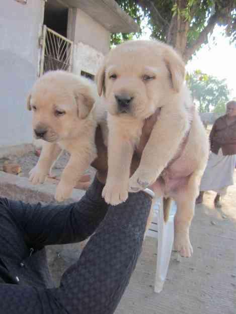 Labrador Pups for sale m:7383450035