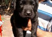 Very  cute black labrador (male ) is waiting for sweet home with a very affordable price..
