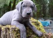 Show quality great dane puppies for sale in all colors