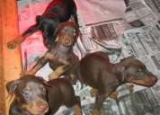 Doberman puppies of original breed with healthy