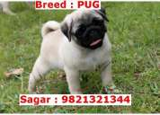 Pug puppy at roby's kennel available for sale in mumbai