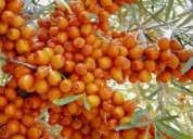Seabuckthorn  health drink for a complete health