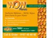 Farm fresh mangoes