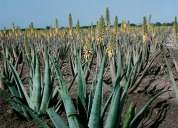aloe vera can make you healthy, beautiful & wealthy