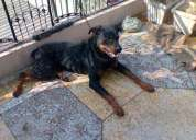 Looking for a female rottweiler  for crossing .