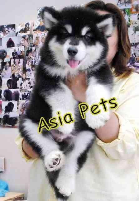 ALASKAN MALAMUTE PUPPIES  FOR SALE   9555944924
