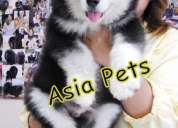 Alaskan malamute puppies  for sale   9555944924