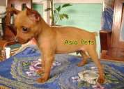 Miniature pinscher  puppies  for sale   9555944924