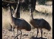Himachal emu farm, emu farming in himachal 9501934442 solan