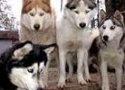 ** siberian-husky **- superb quality with knl regstd.pupps for sale 08802880252 mumbai pune bhandara