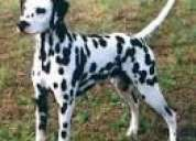 J.p.kennel--(( dalmation )) superb quality healthy pure. and kennel registration.puppies for sale.99