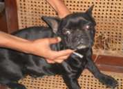 Show quality french bulldog 16 month pair available for sale, 9259560586