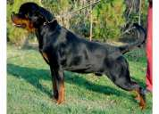 Rottweiler pupps (father mother siberia import)-9466739623