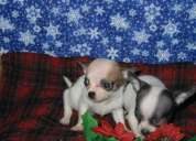 World's smallest breed chihuahua pupps -9466739623
