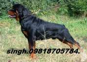 Rottweiler pups for sale.import champion parents. kci papers,.,