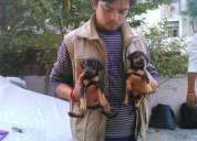 Doberman dog's puppies at 9334915667